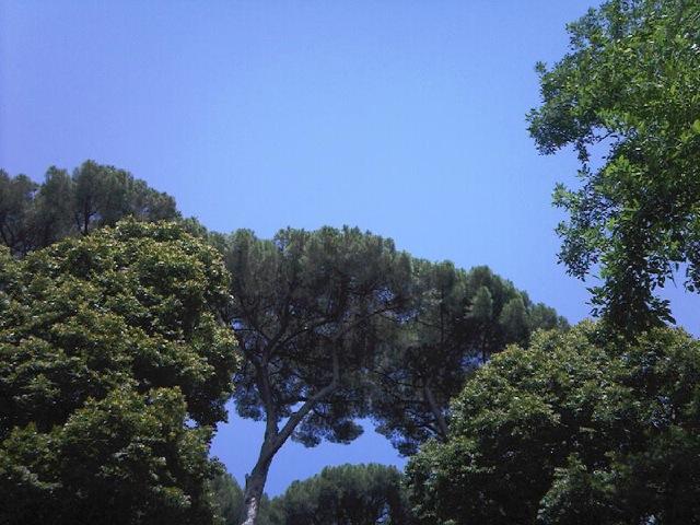 arbres borghèse