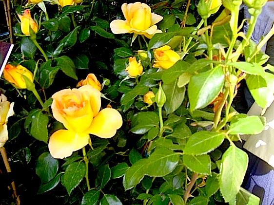 rose vase juin 2