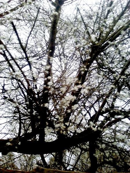 st mammès arbre en fleurs
