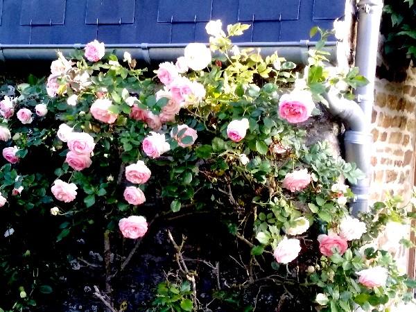 Rose st ger