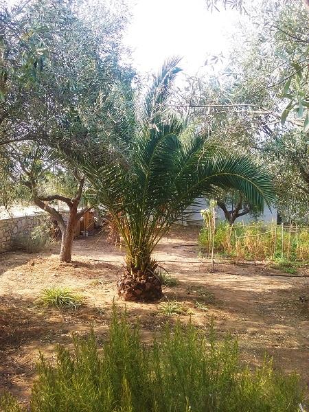 palmier-1
