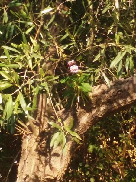 fleurs-olivier-eretria