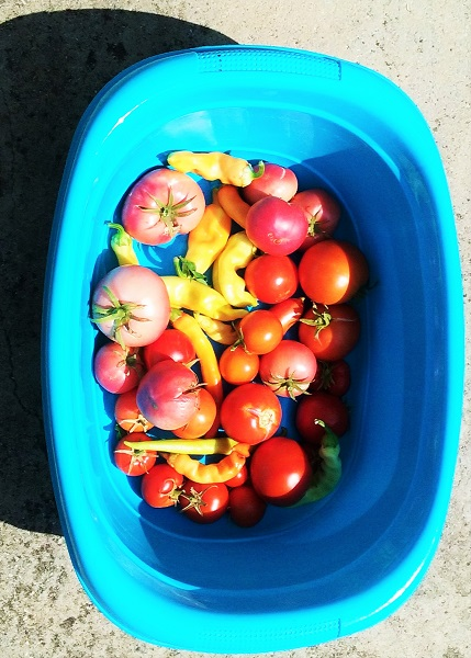 tomates-piments-bassine